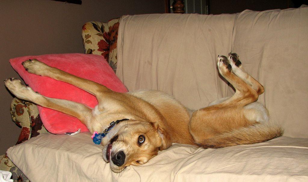 Dog-sprawled-on-couch