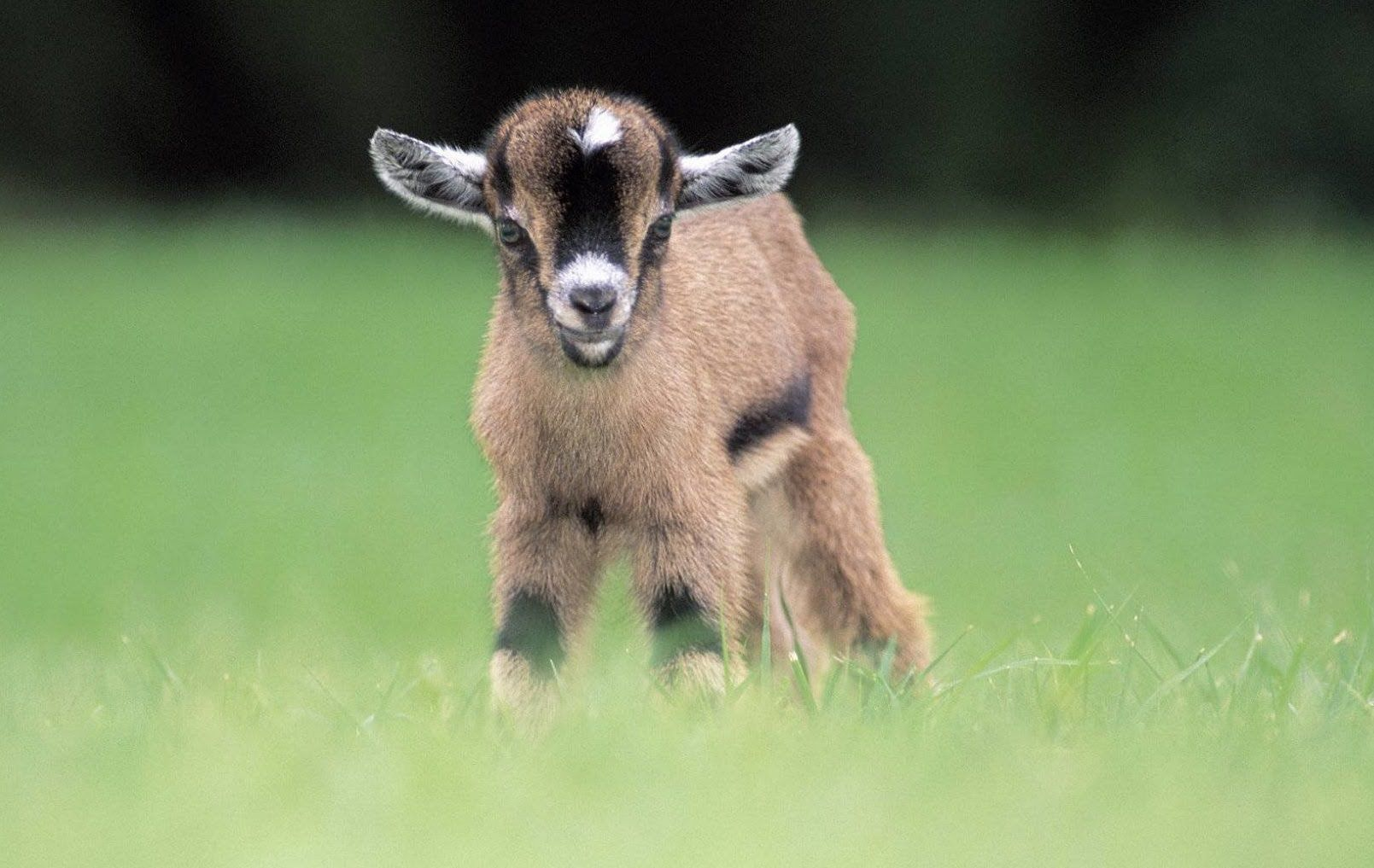 10 Adorable Reasons Why a Pygmy Goat Should Be Your Next Pet