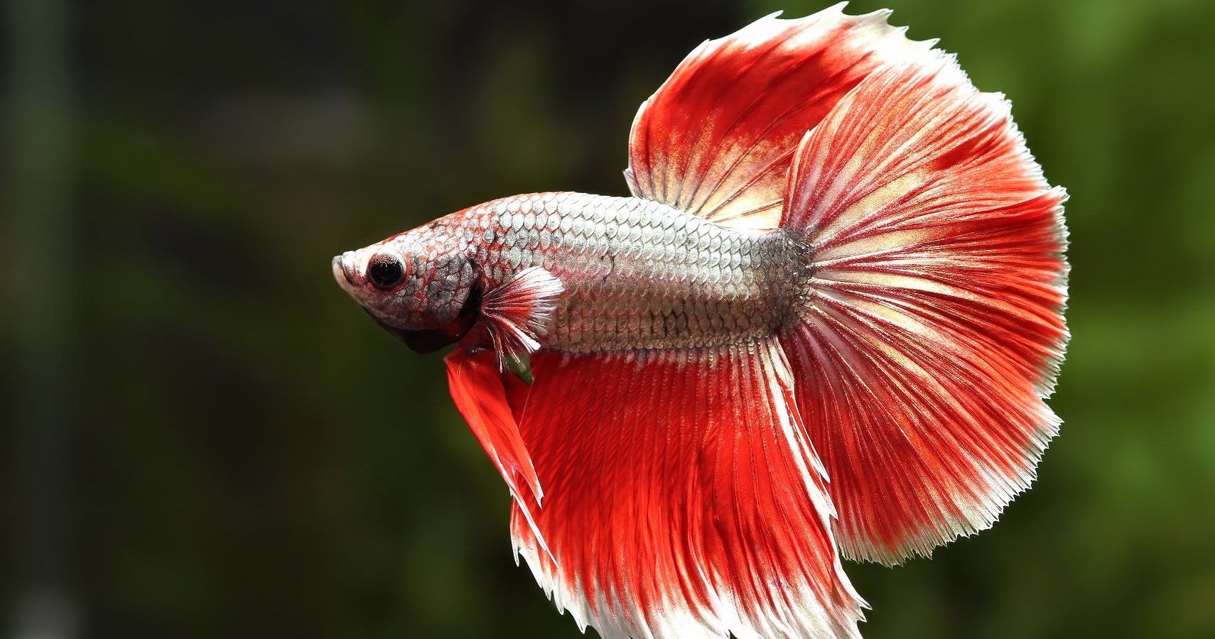 Busted Betta Fish Myths | TheThings