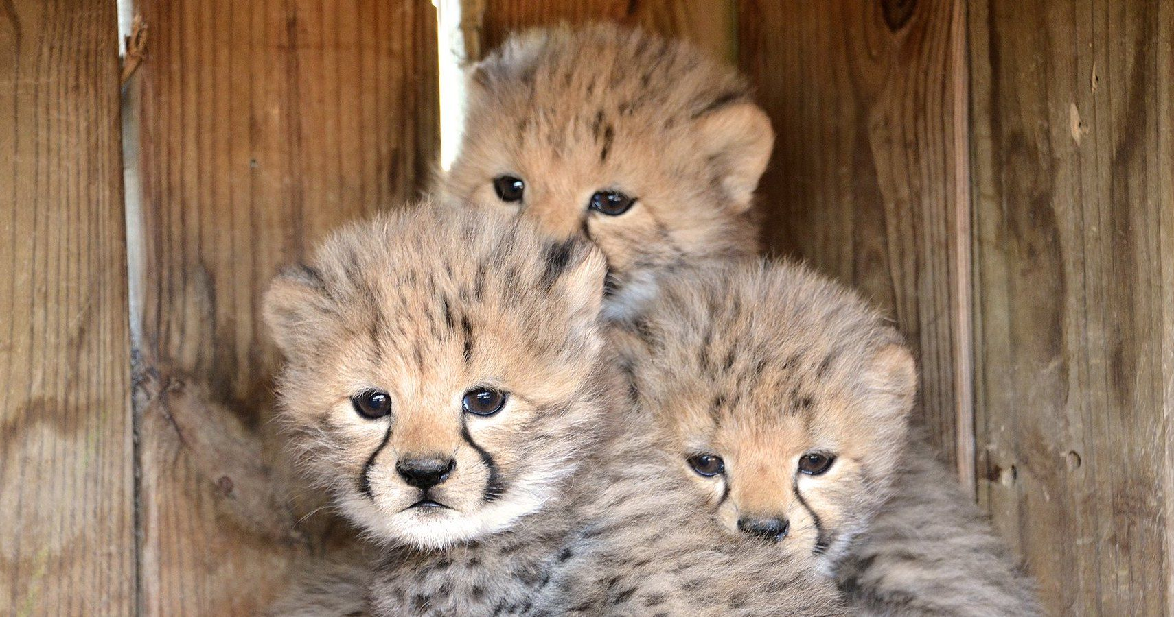 Cheetah & Leopard Cubs Born In Captivity Give Hope To ...