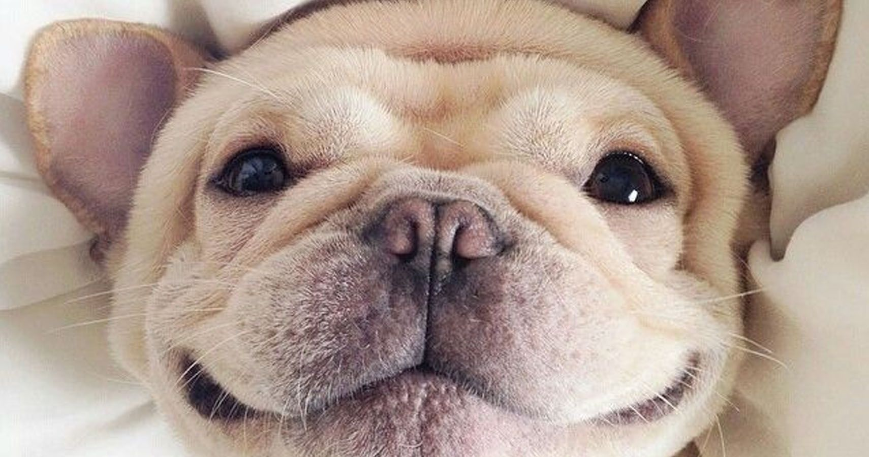 adorable french bulldog loves working out on the treadmill but